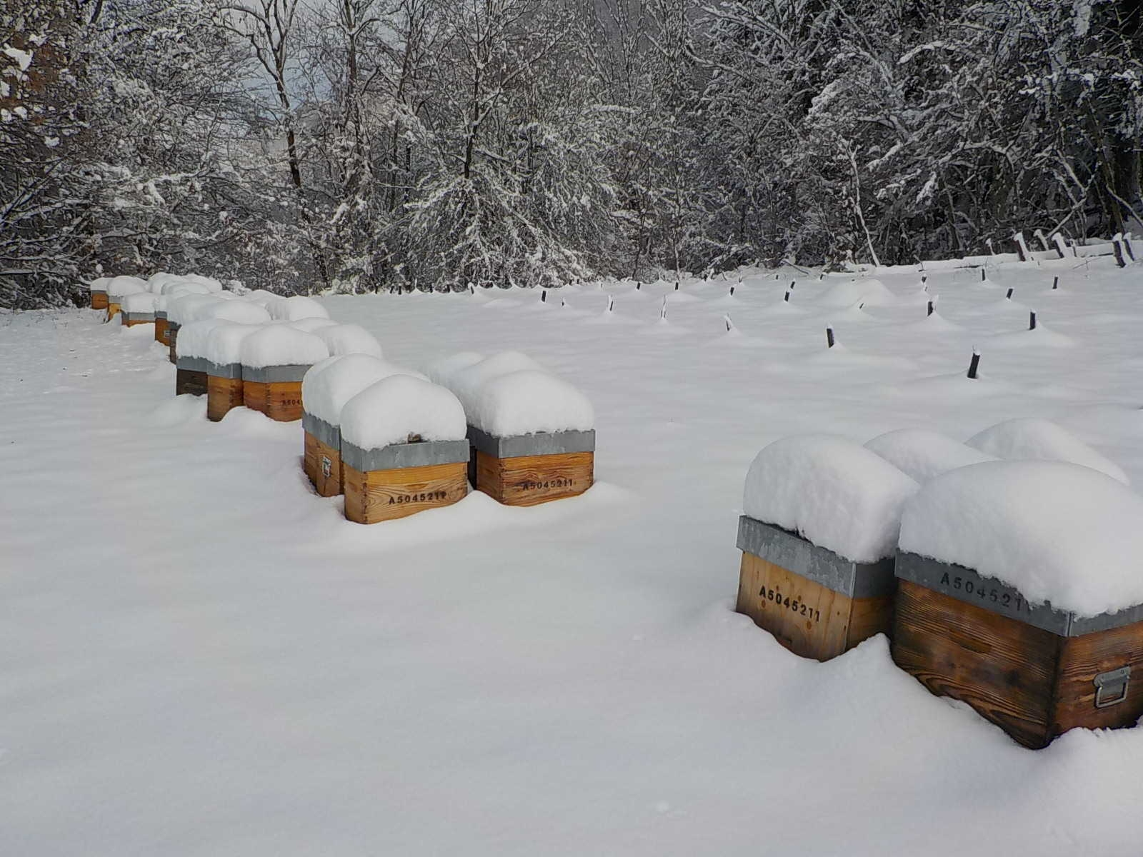rucher_st_beron-abeille-etoile