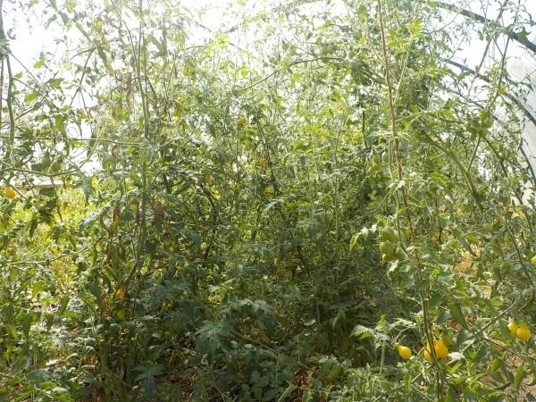 serre-tomates-bio